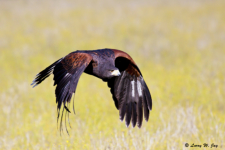 Harris's Hawk, images of some raptors are from the rehabilitation, rescue, and education programs of John Karger's 'Last Chance Forever, The Bird of Prey Conservancy.'