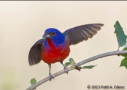 Painted Bunting by Patti A. Edens