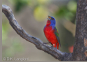 Painted Bunting by D.K. Langford