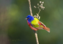 Painted Bunting by Larry Ditto 2015