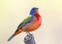 Painted Bunting by Sean Fitzgerald