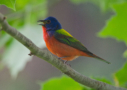 Painted Bunting by Rufous Oliver 2014