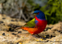 Painted Bunting by Barbara Pickthall 2015