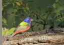 Painted Bunting by Allen Dale 2016