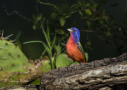 Painted Bunting by Larry Ditto 2016