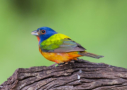 Painted Bunting by Dorothy Dodson 2016