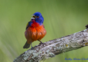 Painted Bunting by Kathy Adams Clark 2016