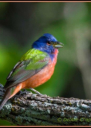 Painted Bunting by Debbie Chapman 2016