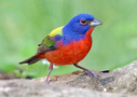 Painted Bunting by David Roberts 2016
