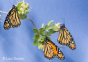Monarch butterflies by Leo Keeler
